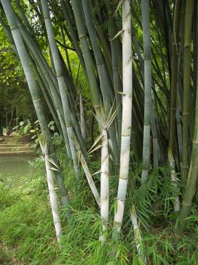 bamboo-canes-cane